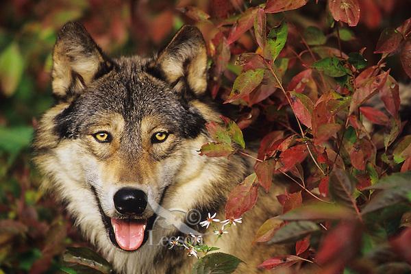 Gray wolf among fall leaves.