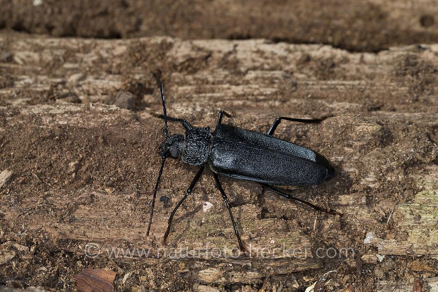 Mulmbock, Zimmerbock, Weibchen, Ergates faber, Carpenter longhorn, Long horned beetle, female