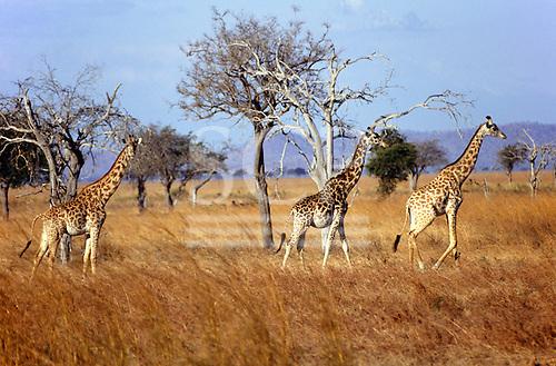 Mikumi Game Reserve, Tanzania. Group of giraffe in savannah.