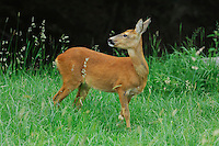 Roe Deer (Capreolus capreolus), female in Summer, Switzerland