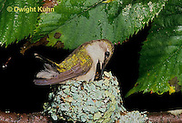 HU10-074x  Ruby-throated Hummingbird - female incubating young while feeding them -  Archilochus colubris