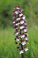 Purpur-Knabenkraut, Purpurknabenkraut, Orchis purpurea, lady orchid, L'orchis pourpre