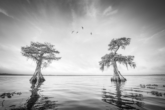 Two cypress trees emerge from the gator infested swamplands of central Florida on a hot summer morning.