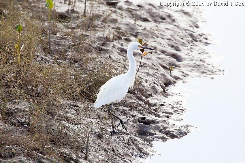 Little Egret, Cairns oceanfront, Queensland, Australia