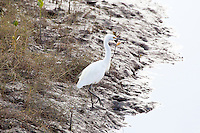 Little Egret, Cairns oceanfront, Queensland, Australia