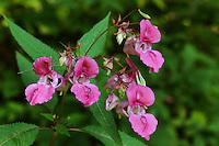 Garten-Springkraut, Gartenbalsamine, Garten-Balsamine, Balsam-Springkraut, Impatiens balsamina, Impatiens balsamifera, Himalayan balsam
