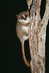 Grey Mouse Lemur (Microcebus murinus) at night. Kirindy Forest, Madagascar.