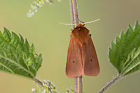 Zimtbär, Rostbär, Zimt-Bär, Rost-Bär, Rostflügelbär, Phragmatobia fuliginosa, ruby tiger, L'Écaille cramoisie, Bärenspinner, Arctiidae, Arctiinae, erebid moths, erebid moth, woolly bears, woolly worms
