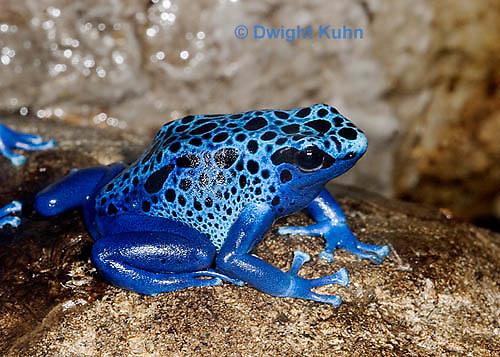FR24-506z      Blue Poison Arrow Frog, Dendrobates azureus, Central America