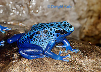 FR24-506z      Blue Poison Arrow Frog, Dendrobates azureus, Central America