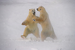Two adult polar bears appear to dance as they play fight on the shore of Hudson Bay, Manitoba, Canada.