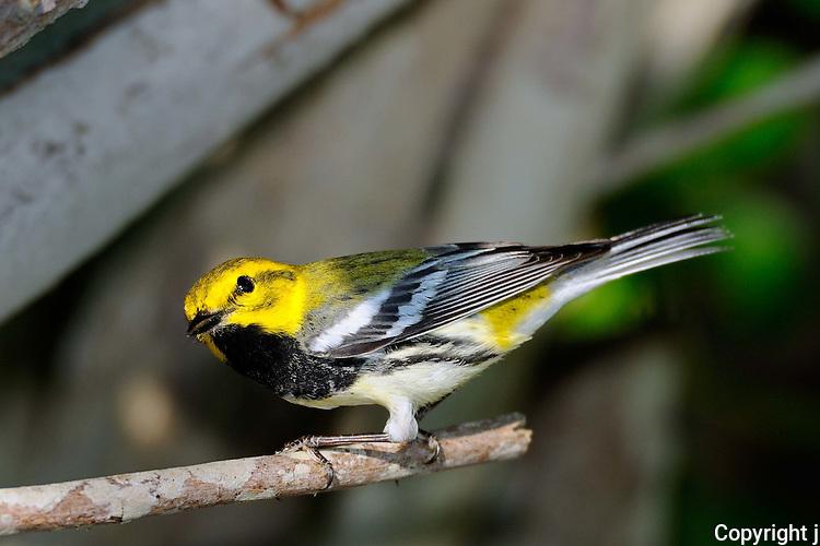 Black-throated Green Warbler, Rockport, Texas