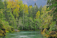 Elwha River flowing through a green springtime forest out of Olympic National Park in Spring. Washington State.