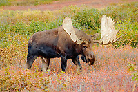 moose, Alces alces, bull feeding on willow bushes in Denali National Park, interior, Alaska, USA