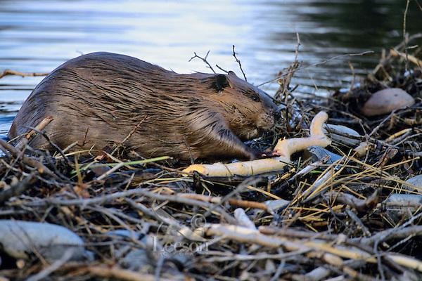 North American Beaver (Castor canadensis) working on dam. Fall.  Western U.S.