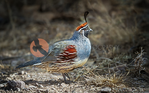 Male Gambel's Quail walking through desert