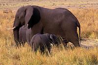 AFRICAN ELEPHANTS (Loxodaonta Africana) are social animals & have a MATRIARCHAL society - CHOBE NATIONAL PARK, BOTSWANA