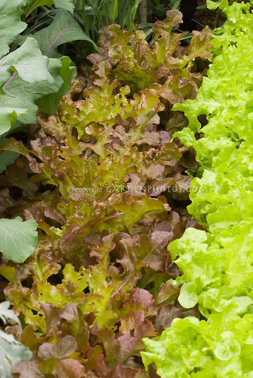 Lettuce 'Red Salad Bowl' with green Salad Bowl