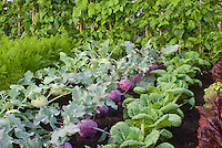 Kohlrabi root vegetable growing, two colors together in garden, purple and green, with other salad greens, red lettuce, pak choi, carrots, beans growing up poles at back of rows, pretty gardening