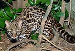 Like a majority of wild cats, the oncilla is a secretive, solitary cat, native to Central and South America.