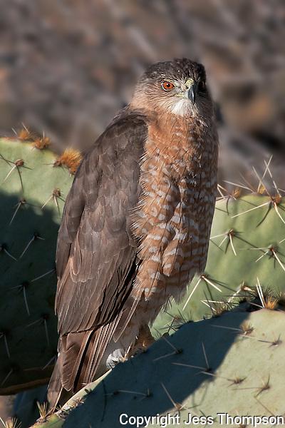 Cooper's Hawk, Bosque del Apache NWR, New Mexico