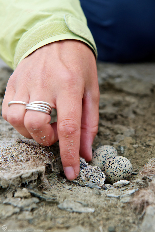 A researcher gently lifts a newly hatched snowy plover from it's nest in order to band it before reuniting it with it's siblings to be.<br /> <br /> Learn more about the Snowy Plover Recovery Project: <br /> http://www.sfbbo.org