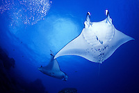 Manta Rays (Manta birostris) flys underwater off the Island of Yap in Micronesia.