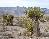 1202-0871  Mojave yucca (Spanish Dagger) in Mojave Desert, Yucca schidigera  © David Kuhn/Dwight Kuhn Photography