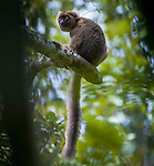Young male Greater Bamboo Lemur (Prolemur simus), unprotected forest administered by Association Mitsinjo between Torotorofotsy and Mantadia NP, eastern Madagascar.