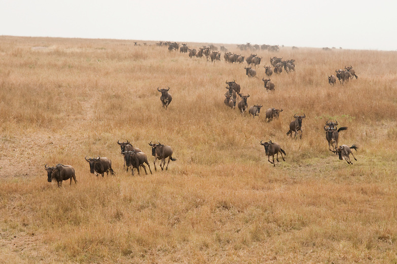 """Wildebeest are known for their annual migration to new pastures. The perils of wildebeest river crossings (being eaten by crocodiles or drowning) are well documented.  Although it is assumed that this migration is a frenzy and that the wildebeest cross blindly, recent research has shown that a herd of gnu possesses what is known as a """"swarm intelligence"""", whereby the animals systematically explore and overcome the obstacle as one."""