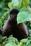 Grey-cheeked mangabey,  Kibale Forest, Uganda