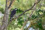 Adult African hawk-eagle (Hieraaetus spilogaster) perched in Acacia. Tarangire National Park, Tanzania.