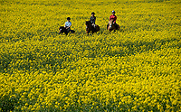 BNPS.co.uk (01202) 558833<br /> Pic: ZacharyCulpin/BNPS<br /> <br /> Weather input<br /> <br /> Hot to trot - Horse riders make the most of the warm spring weather and gently trot through farmer's tyre tracks at a stunning yellow rape seed field (with farmers permission) near Christchurch in Dorset today (Sunday).