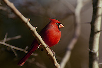 Stunning northern male cardinal perching on tree branch