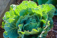 Close-up of cabbage in an organic garden in Kalihi