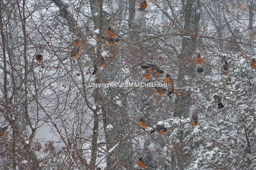 00980-019.08 American Robin flock is feeding on crab apples during a snowstorm.  Survive, cold, winter.  H0E1
