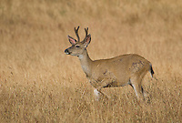 Male black-tailed deer, Odocoileus hemionus, with antlers in velvet. Point Reyes National Seashore, California