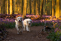 WEATHER PICTURE<br /> Two golden retrievers run as sunset falls on Dockey Wood on the Ashridge Estate, Hertfordshire, UK. Work is being undertaken to protect the bluebells and encourage visitors to stay on the marked footpaths.