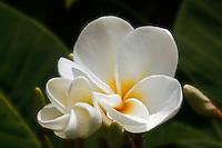 Virgin flower of Hawaii