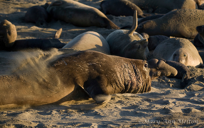 Northern Elephant Seal; (Mirounga angustirostris); Piedras Blancas; San Simeon; California breeding grounds; rookery mating season
