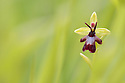 Fly Orchid (Ophrys insectifera) growing in woodland clearing, Rockingham Forest, Northamptonshire. 'Roots of Rockingham', a Back from the Brink project site.