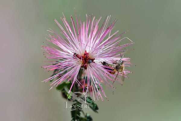 Fairy Duster (Calliandra eriophylla) common shrub native to deserts and arid grasslands in California, Arizona, New Mexico and Texas and Mexico with honeybee.  Arizona,  Feb-March.