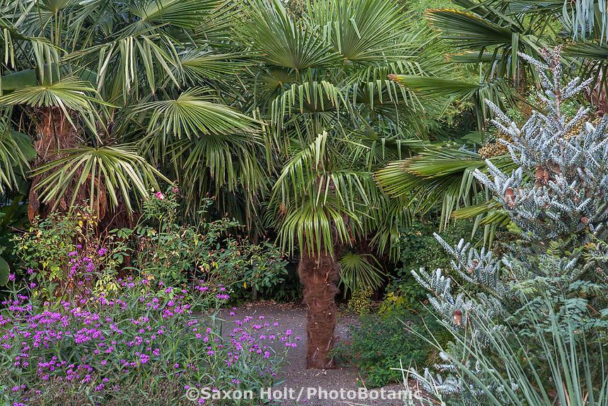 Trachycarpus fortunei, Chinese windmill palm tree in gravel garden bed with Abies koreana 'Silver show'; Kuzma Garden