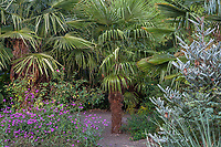 Trachycarpus fortunei, Chinese windmill palm tree in gravel garden bed with Abies koreana 'Silver show'; Kuzma Garden