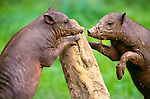 Molucca babirusa, Indonesia