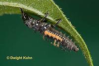 1C02-522z  Asian Ladybug Larva, Harmonia axyridis