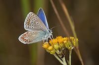 Hauhechelbläuling, Hauhechel-Bläuling, Gemeiner Bläuling, Wiesenbläuling, Männchen, Polyommatus icarus, Lycaena icarus, common blue, male