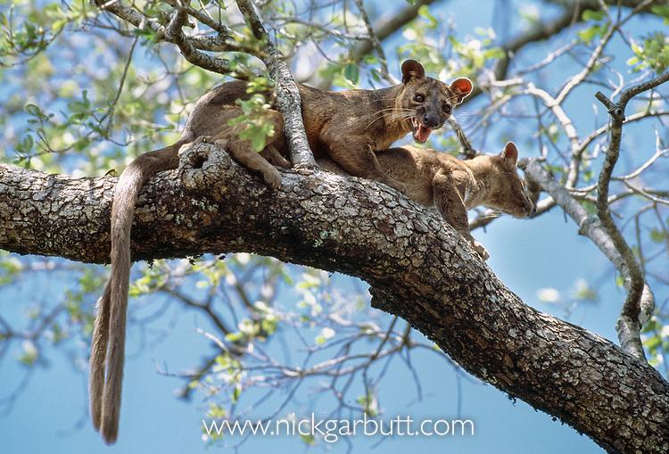 Adult male and female Fosa (Crytoprocta ferox) mating in forest canopy. Kirindy Forest, western Madagaascar.