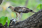 Changeable Hawk Eagle (Spizaetus cirrhatus) plucking feathers from its dead prey (possibly a White-eyed Buzzard). Bandhavgarh National Park, Madhya Pradesh, India.