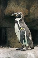 Humboldt Penguin, Spheniscus humboldti, capitve, IUCN listed as Vulnerable Species.